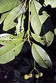 Acronychia pedunculata 19.JPG