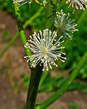 Actaea racemosa, Ranunculaceae, Black Cohosh, ...
