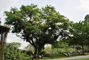 Adenanthera pavonina - Heritage Tree, Saga (Adenanthera pavonina inside Singapore Botanical Gardens