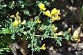Adenocarpus telonensis 1.jpg