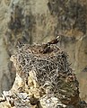 Adult osprey and fledgling in nest in Grand Canyon of the Yellowstone (21831989601).jpg