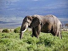 Eléphant 4  dans ELEPHANT 220px-African_Elephant_in_Kenya