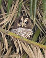 African Wood Owl.jpg