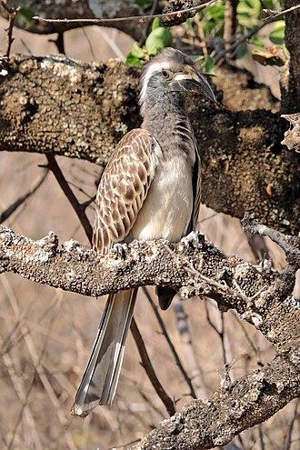 African grey hornbill - Image: African grey hornbill (Tockus nasutus nasutus) immature