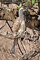 African grey hornbill (Tockus nasutus nasutus) immature.jpg