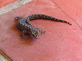 <i>Afrogecko</i> genus of reptiles