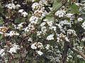 Ageratina.adenophora.jpg