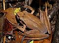 Aglyptodactylus sp., Vohimana reserve, Madagascar (14081812984).jpg