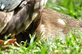 Aix galericulata (Küken) - Nymphenteich Zürichhorn 2011-06-10 16-40-02.jpg