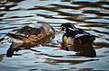 Aix sponsa (Wood Duck - Brautente) - Weltvogelpark Walsrode 2012-10.jpg
