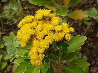 <i>Ajania</i> genus of plants