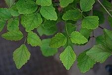 Akebia trifoliata leaf.jpg