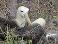 Albatross birds - Espanola - Hood - Galapagos Islands - Ecuador (4871011321).jpg