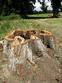 All that remains of an old oak near Abbot's Hall Farm - geograph.org.uk - 539697.jpg