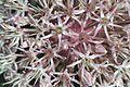 Allium karataviense Regel, (Amaryllidaceae)-4F.JPG