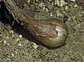 Allium lacunosum (pitted onion) bulb (5724568701).jpg