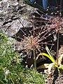 Allium schubertii Czosnek 2015 01.jpg