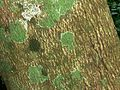 Allophylus natalensis, bas, Umhlanga-strandmeer NR.jpg
