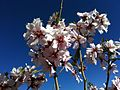 Almond Flower 01.JPG
