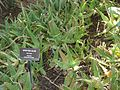 Aloaceae-spotted aloe.jpg