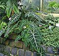 Alocasia micholitziana Palmengarten Frankfurt (Main).jpg