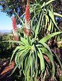 Aloe speciosa - tilt head aloe.jpg