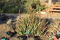 Aloe succotrina - San Luis Obispo Botanical Garden - DSC06060.JPG