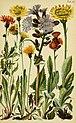 Alpenflora; die verbreitetsten Alpenpflanzen von Bayern, Österreich und der Schweiz (1922) (17488913193).jpg
