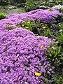 Alpine Phlox (Phlox subulata) in a garden (2921706251).jpg