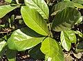 Alseodaphne semecarpifolia 30.JPG