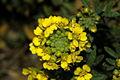 Alyssum montanum PID1009-2.jpg