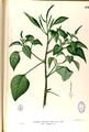 Amaranthus viridis Blanco2.262-original.png