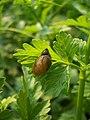 Amber snail - geograph.org.uk - 450514.jpg