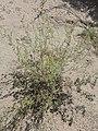 Ambrosia acanthicarpa kz18.jpg