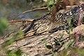 American Alligator Smith Oaks High Island TX 2018-04-17 15-48-11 (41048951035).jpg