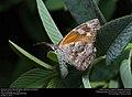 American Snout (Nymphalidae, Libytheana carinenta) (29951278810).jpg