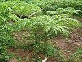 Amorphophallus paeoniifolius Plant frm Kerala 5003.JPG