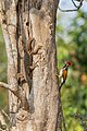 An arboreal Monitor.jpg