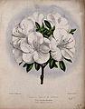 An azalea (Rhododendron species); flowering stem. Coloured l Wellcome V0044403.jpg