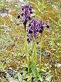 Anacamptis longicornu (plants).jpg
