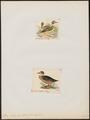Anas chalcoptera - - Print - Iconographia Zoologica - Special Collections University of Amsterdam - UBA01 IZ17600401.tif