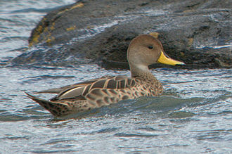 Yellow-billed pintail - Image: Anas georgica Puerto Natales, Patagonia, Chile 8 (1)