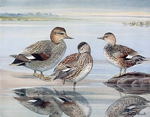 Coues's gadwall - Illustration of a male and female gadwall, with a male Coues's gadwall, by Louis Agassiz Fuertes