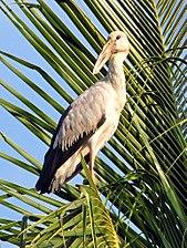 Anastomus oscitans -Kerala, India-8 (1).jpg