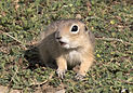 Anatolian Ground Squirrel - Spermophilus xanthoprymnus 04.jpg