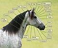 Anatomía de la cabeza del caballo.jpg