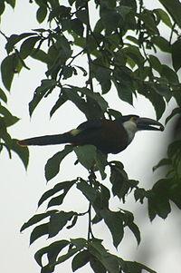 Andigena nigrirostris -Colombia-4