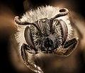 Andrena, miserabilis, f, face, Maryland, P.G 2018-05-16-17.34 (41298030450).jpg