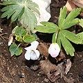 Anemone flaccida and Viola keiskei.jpg