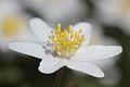 Anemones - kvitveis - hvitveis - 21.JPG